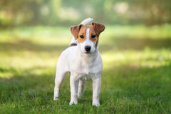 Adorable jack russell terrier dog outdoors royalty free stock photo