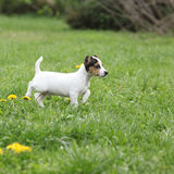 Adorable jack russell terrier puppy Royalty Free Stock Photography