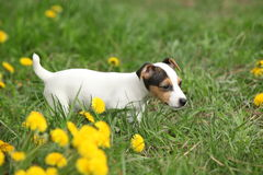 Adorable jack russell terrier puppy. On the grass royalty free stock photography