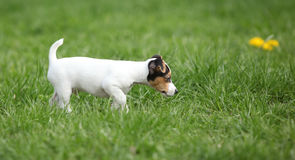 Adorable jack russell terrier puppy Royalty Free Stock Images