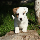 Adorable jack russell terrier puppy looking at you Stock Photos