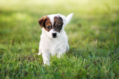 Adorable jack russell terrier puppy outdoors Stock Image
