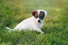 Adorable jack russell terrier puppy outdoors in summer Stock Image
