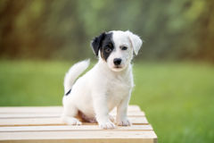 Adorable jack russell terrier puppy posing outdoors Royalty Free Stock Photography