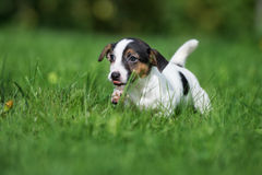 Adorable jack russell terrier puppy running outdoors Stock Image