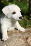 Adorable jack russell terrier puppy on some stone Royalty Free Stock Photos