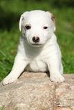 Adorable jack russell terrier puppy on some stone Stock Photography