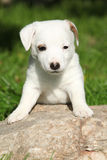 Adorable jack russell terrier puppy on some stone Stock Photo