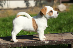 Adorable jack russell terrier puppy standing Royalty Free Stock Image
