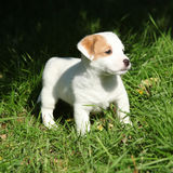 Adorable jack russell terrier puppy standing Royalty Free Stock Images