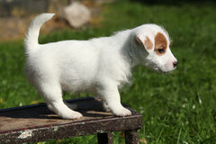 Adorable jack russell terrier puppy standing Stock Photography