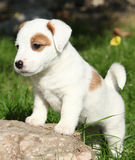 Adorable jack russell terrier puppy standing Stock Photos