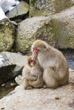 Adorable Japanese Snow Monkeys Hugging Royalty Free Stock Images