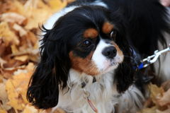 Adorable King Charles Spaniel on leash,playing in Fall leaves Royalty Free Stock Photography