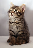 Adorable kitten 1. Adorable kitten looking in the air royalty free stock photography