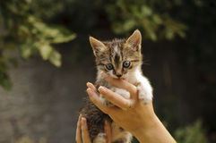 Adorable kitten biting girl's finger Royalty Free Stock Image