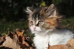 Adorable Kitten in Fall Leaves Royalty Free Stock Photography