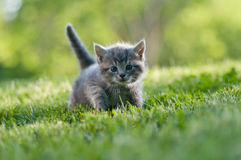 Adorable kitten in the garden. Cute grey kitten in the grass looking at the camera curiously Royalty Free Stock Images