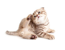 Adorable kitten scratching or itching himself Stock Photography