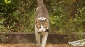 Cat Walking in Garden with Big Bow stock image