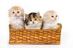 Adorable kittens in the basket Royalty Free Stock Images
