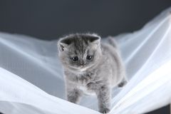 British Shorthair kittens on a white net, cute portrait. Adorable kittens blue and lilac, British Shorthair kittens sitting on a white net royalty free stock images