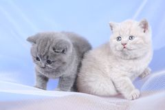 British Shorthair kittens on a white net, portrait. Adorable kittens, British Shorthair kittens sitting on a white net stock photos