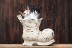 Adorable Kittens in an Old Boot Shoe On Wood Background Stock Photo