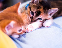 Adorable Kittens Stock Images