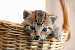 Adorable kitty in basket Stock Image