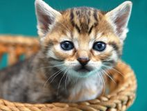 Adorable kitty portrait Royalty Free Stock Photography