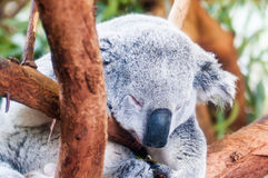 Adorable koala bear taking a nap sleeping Stock Photography