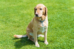 Adorable labrador dog. Sitting in the green park stock photo