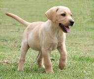 Adorable Labrador Puppy on Green Grass Stock Photos