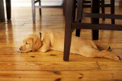 Adorable Labrador Puppy Lying in a Funny Position under a Table. Cute Yellow Lab Pup resting underneath a chair on a wooden floor stock photo