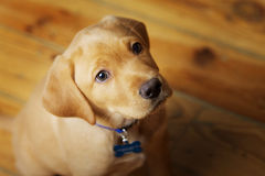 Adorable Labrador Puppy Sitting on Wood Floor. Portrait of a yellow lab puppy on white background royalty free stock images