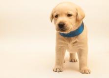 Adorable labrador puppy. Yellow adorable labrador puppy on white background Royalty Free Stock Photo