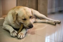 Labrador dog chew big rawhide bone in house. Adorable Labrador retriever chewing big bone snack inside house living room. Cute dog eating rawhide to cleansing Stock Photo