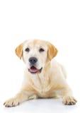Adorable labrador retriever female dog Stock Photos