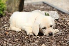 Adorable labrador retriever lying Royalty Free Stock Photography