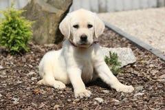 Adorable labrador retriever lying Stock Image