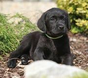 Adorable labrador retriever lying Royalty Free Stock Photo