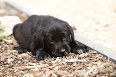 Adorable labrador retriever lying Stock Images