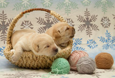 Adorable labrador retriever puppies Royalty Free Stock Images