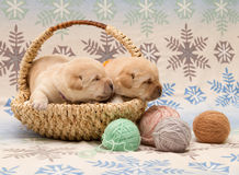 Adorable labrador retriever puppies Stock Images