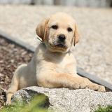 Adorable labrador retriever puppy lying on a stone Stock Photography