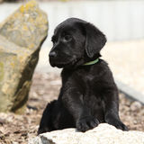 Adorable labrador retriever puppy lying on a stone Royalty Free Stock Images
