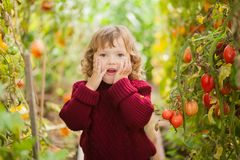 Unhappy little gardener, tomato disease Phytophthora Infestans. Stock Images