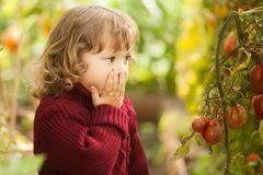 Unhappy little gardener, tomato disease Phytophthora Infestans. Ripe red tomatoes get sick by late blight. Royalty Free Stock Image