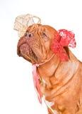 Adorable Lady-Dog Stock Photos